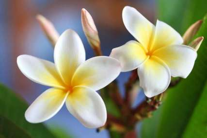 Fleur-de-frangipanier-800